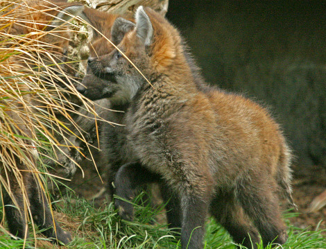 Maned wolf pups 2 ab