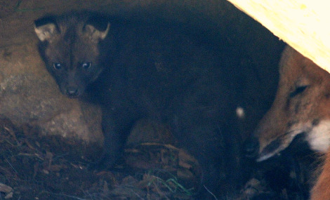 Maned wolf pup in den 1 ab