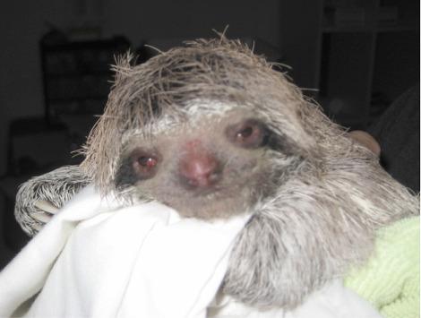 Baby Bradypus Sloth 1