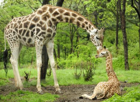 Giraffe bronx zoo 1