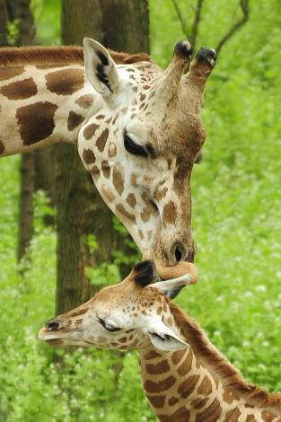 Giraffe calf bronx zoo 4