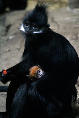 Langur cleveland zoo 1