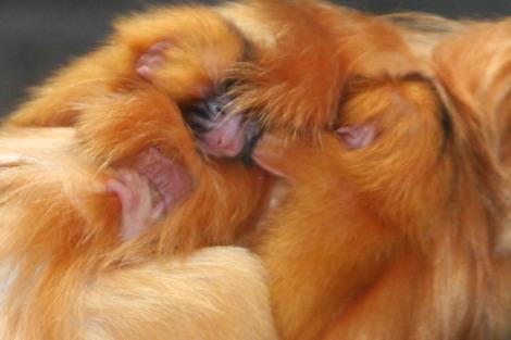 Mom and Babies Clinging Closeup 1