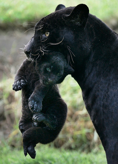 baby jaguar animal pictures. Black Jaguar Baby