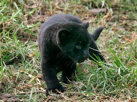 Lima_jaguar3