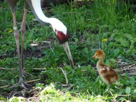 Crane chick toledo zoo 2
