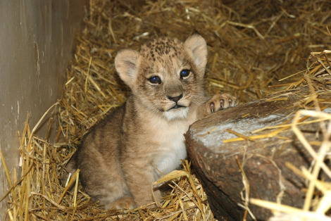 Lion Cubs Blackpool 2