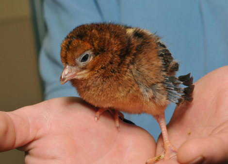 Pheasant chick at SeaWorld 1
