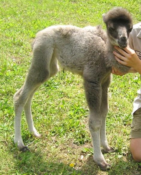 Camel mesker park zoo 2