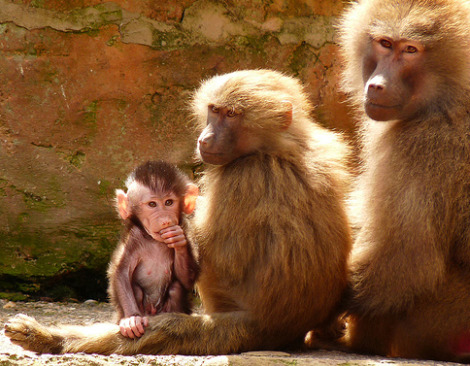 Baby baboon paignton zoo with two adults