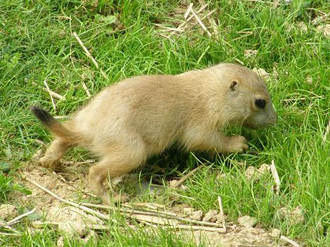 Baby Prairie Dogs ZooAmerica 1