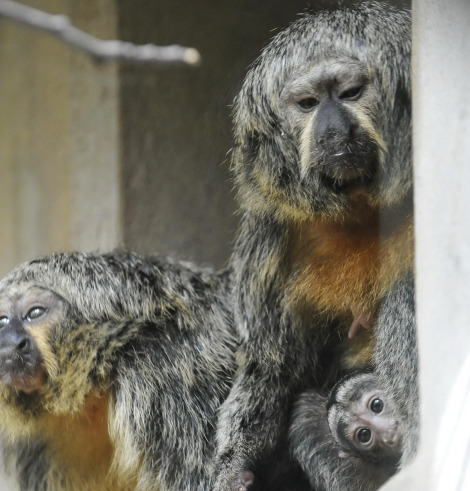 Baby white faced saki monkey zoo basel 2