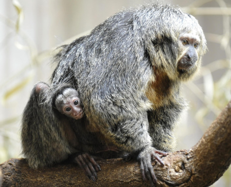 Baby white faced saki monkey zoo basel