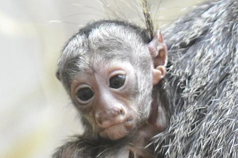 Baby white faced saki monkey zoo basel 3