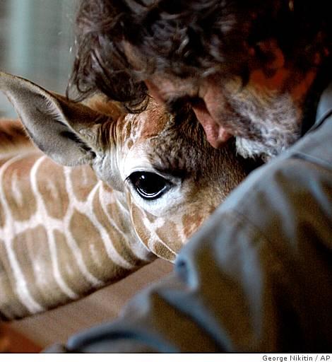 Ba-baby_giraffe_0499982734