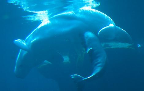 Baby beluga calf vancouver aquarium 3