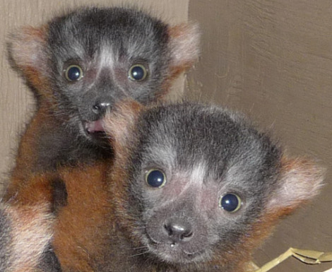 Happy Hollow Zoo Red Ruffed Lemur Babies Closeup