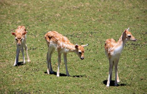 European fallow deer fawn 3 rs