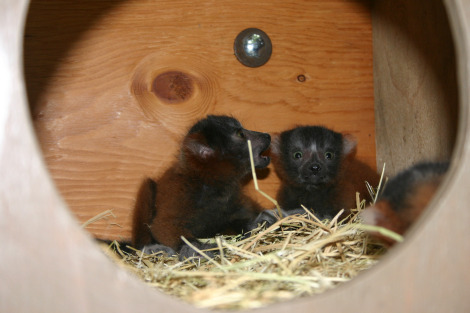 Red ruffed lemur in their box