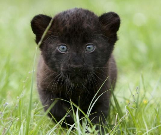 Panther Cubs Zooborns