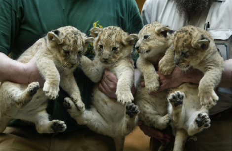 Lion cubs wuppertal germany ab1