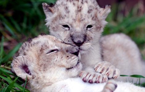 White_lion1