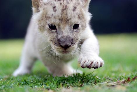 White_lion2