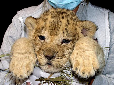 Lion cub profile lee richardson zoo