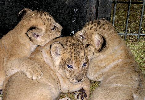 Pile o lions lee richardson zoo