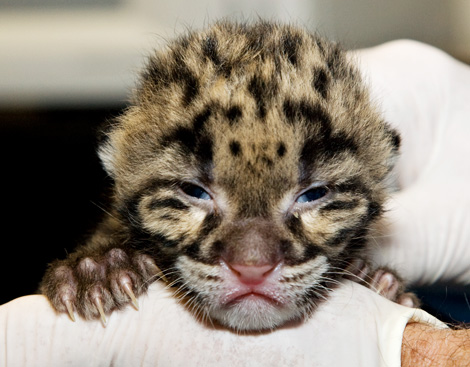 Clouded-Leopard-Cubs-2