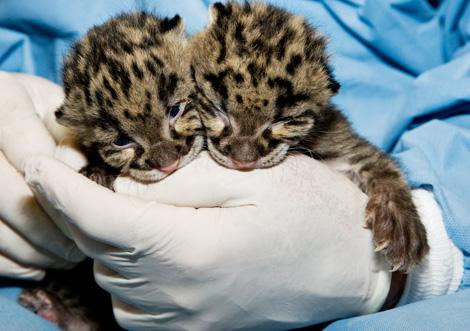 Clouded-Leopard-Cubs-3