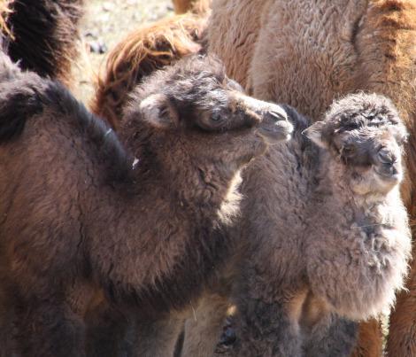 Bactrian camel calves mn zoo pic 1