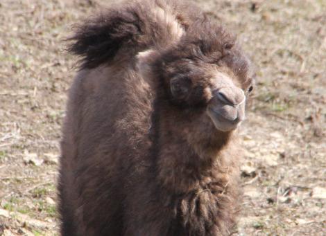 Bactrian camel calves mn zoo pic 3d