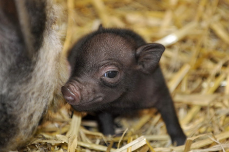 Miniature pigs zoo basel 6 closeup