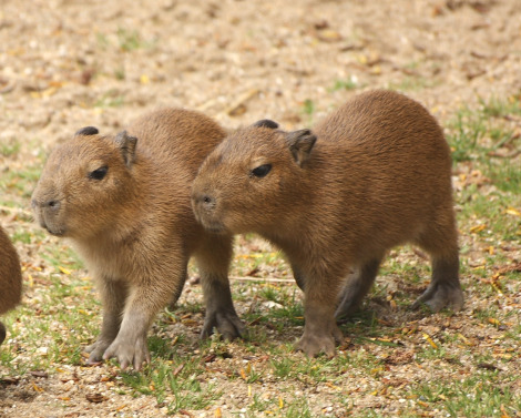 Baby capybara 2