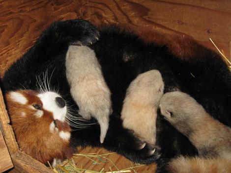 09-Panda-Cubs2