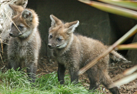Maned wolf pups 1 ab