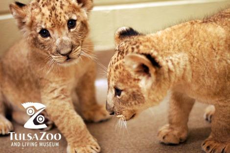 Lion cubs tulsa zoo 1