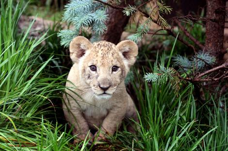 Lion cubs tulsa zoo 2