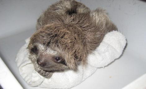 Baby Bradypus Sloth 5