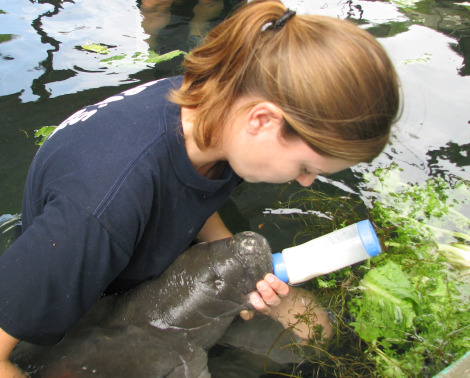 Baby manatee lowry park feeding 1 a