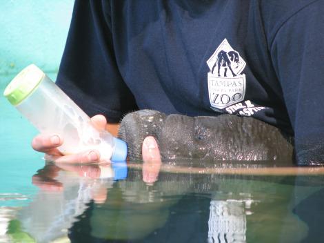 Baby manatee lowry park feeding 3