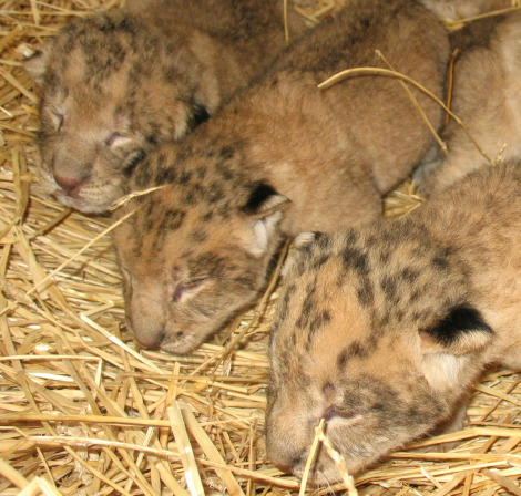 2 day old lion cubs 3 heads 2