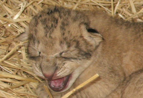 Lion cub mouth open ab
