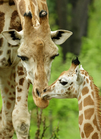 Giraffe calf bronx zoo 2