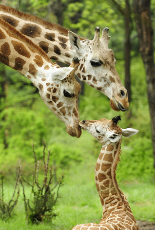 Giraffe calf bronx zoo 3
