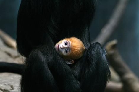 Langur cleveland zoo 2