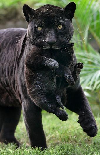 Black Jaguar Baby Zooborns