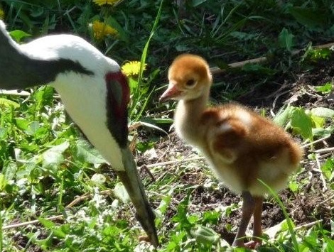 Crane chick toledo zoo close up 2