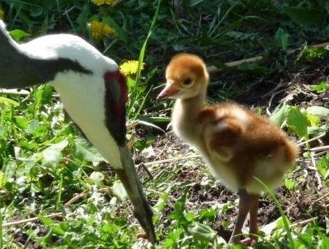 Crane chick toledo zoo close up 2